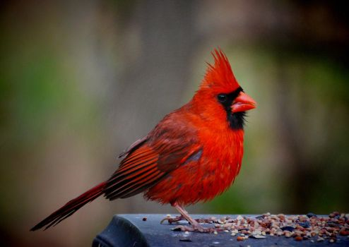 Just another Cardinal by Tailgun2009