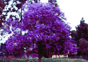 Purple Tree by looksforthelight