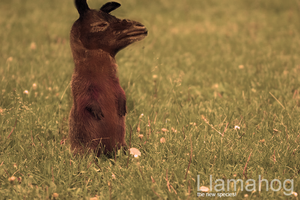Yet another Llamahog by UJz
