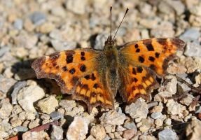 The Comma... by EricReynolds