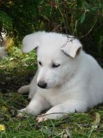 white swiss shepherd 002 by yulis