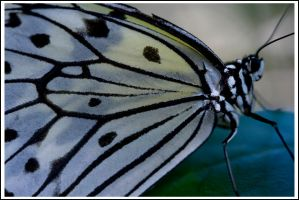 Zebra Butterfly by justfrog