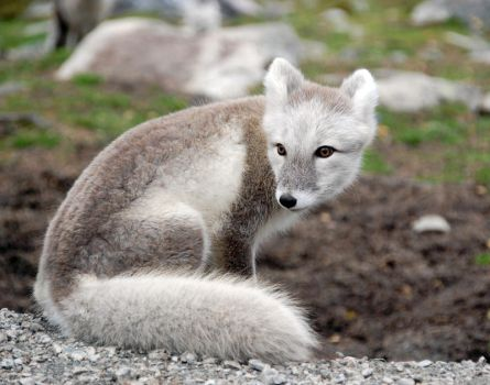 Arctic fox stock 7 by GrayeyesStock