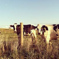 Cows and A Moon by littlebabyR