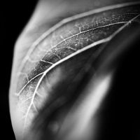 Ficus Leaf 1 by DaBorgne