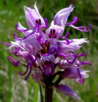 Wild Monkey orchid by jynto