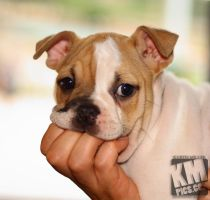 Bulldog Pup 2 by kurtywompus