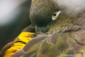 Burrowing Parrot by DominikaAniola