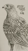 EA Project 9: Greater Spotted Eagle by meihua