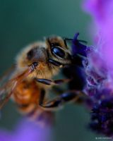 Busy Bee by Orcadus