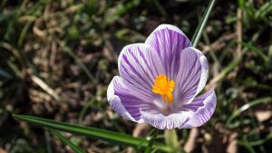Beautiful Crocus by Danimatie