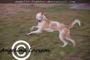 Podenco Ibicenco by Angelic-Fighter