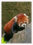 Red Panda by Goodbye-kitty975