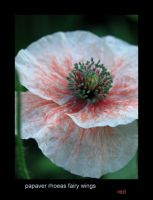 Papaver Rhoes Red by lovingenglish
