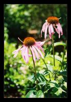 Echinacea by 0-kelley-0