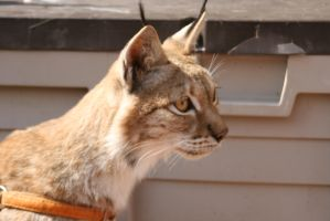 lince by efiras