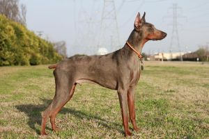Louie Doberman 2 by DOBERwoMAN