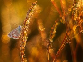 Polyommatus icarus M42 by Witoldhippie