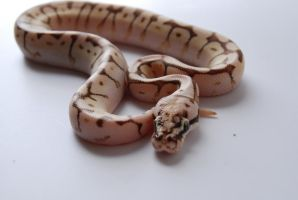 Baby Ball Python 1 by FearBeforeValor