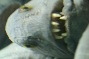 Wolffish by Silverwing9960