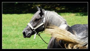Percheron mare by floflo