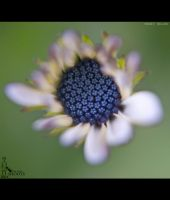 Close Up Of Blue Petal Daisy Flower.... by nimitnigam