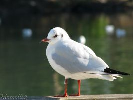 Fluffy black-headed gull by Momotte2