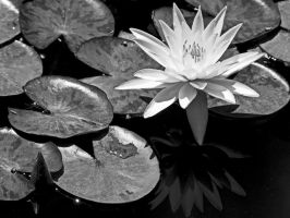 Water Lilly by Aztil