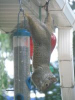 Hungry Squirrel II by LithiumStock