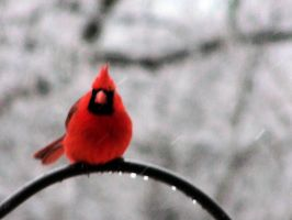 Cold Cardinal by motrav