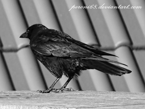 crow 22-2 by peroni68