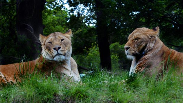 Lions by Mehgan1