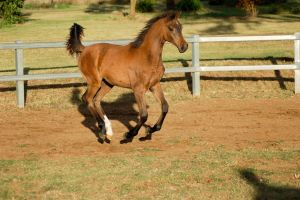 JA Arab yearling bay canter all legs up by Chunga-Stock