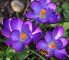 Crocus And Bee by Forestina-Fotos