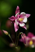 Purple Columbine by secondclaw