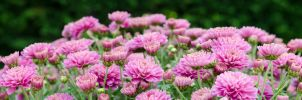 Macro panorama chrysanten flowers by BDStudio