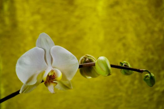 Orchid Bloom 7 by Art-Photo