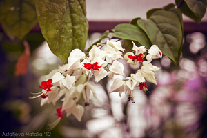 Clerodendrum thomsoniae by NatalieAster
