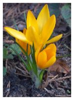 ...:Yelllow crocus:... by Nailo