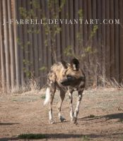 African Wild Dog 2 by J-Farrell