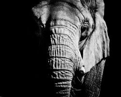 Elephant by Buckeye4life