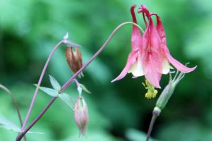 Red Columbine by LocationCreator