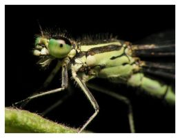 149 Dragonfly by viedymin