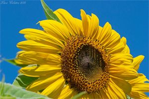 Simply sunflower by Luks85