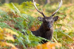 Sika Stag by JakeSpain