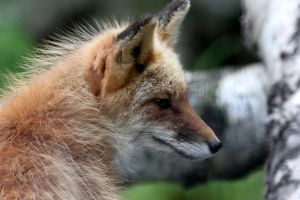 Red Fox Profile by Jack-13
