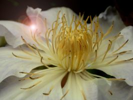 Clematis by Cyliania