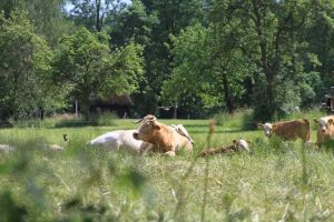 Cattle in the forest by utico