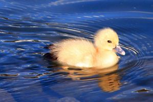 Baby Duck by millerjoew2008