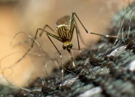 Mosquito by HalfBloodPrince71
